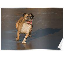 Staffordshire bull terrier running Poster