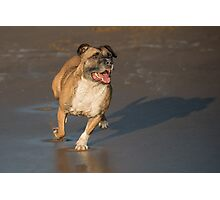 Staffordshire bull terrier running Photographic Print
