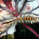 Vapour Moth Caterpillar (Orgyia antiqua) by Ludwig Wagner