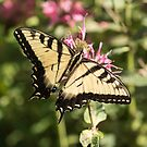 Swallowtail Butterfly 2016-1 by Thomas Young