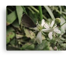 little gray butterfly Canvas Print