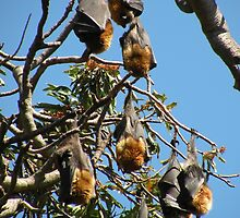 Grey-headed Flying-fox by Trish Meyer