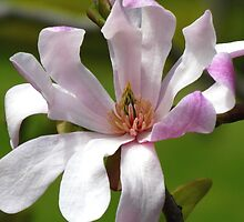 Soft Pink Magnolia by Marilyn Harris