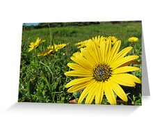 Cape Weed - Daisies in the meadow Greeting Card