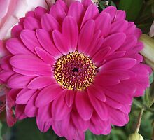 Pink Gerbera by Gilberte
