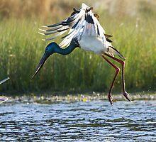 Jabiru vs Pelican by byronbackyard