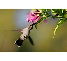 Anna's Hummingbird Photographic Print