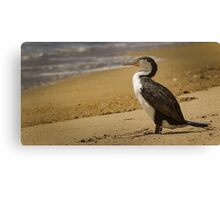 Pied Shag at Abel Tasman Canvas Print
