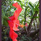 Another Hibiscus by Ginny Schmidt