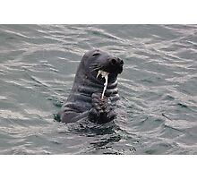 Seal feeding Photographic Print