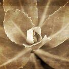 Sedum unflolding by KSKphotography