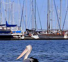 Brighton Marina pelican - Victoria - Australia by bayside2