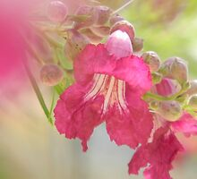 Desert Willow Bloom by Navigator