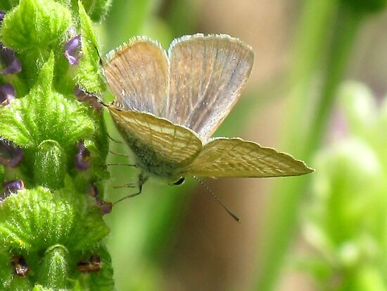 Poised - Long-tailed Pea Blue Butterfly by Marilyn Harris