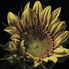 Sunflower III:  Upsy Daisy by Victoria Jostes
