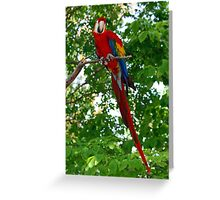 Red Parrot 2 Greeting Card