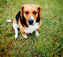Beagle - Basset Hound Mix by novopics