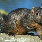 Black Squirrel.... by RichImage