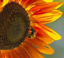 Sunflower 3 by John Velocci