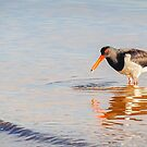 Oyster catcher catches a morsel by nadine henley