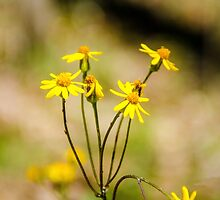 Golden Ragwort by mcstory