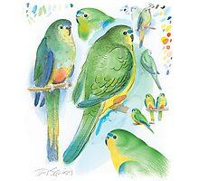 Orange-bellied Parrot Photographic Print