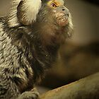 Common Marmoset by Ladymoose