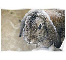 Grumpy Bunny Poster