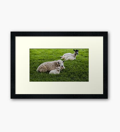 Ewe and Lamb Framed Print