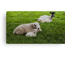 Ewe and Lamb Canvas Print