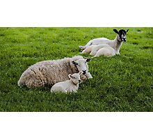 Ewe and Lamb Photographic Print