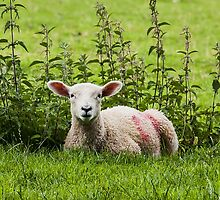 Lamb resting with the nettles by Mike-G