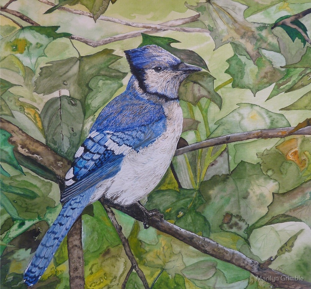 BLUE JAY - water color. by Marilyn Grimble