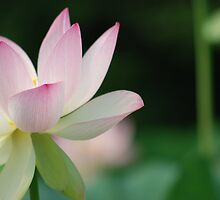 lotus position by mellychan