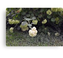 White flowers part of natural bush in the garden. Canvas Print