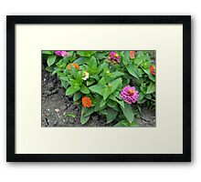 Colorful pink and orange flowers in green leaves bush in the garden. Framed Print