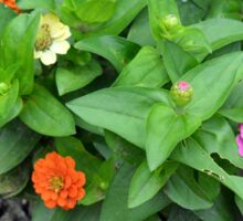 Colorful pink and orange flowers in green leaves bush in the garden. Sticker