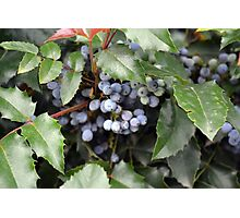 Small grapes hidden under green leaves. Photographic Print