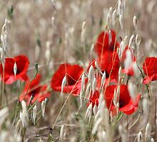 Poppies - JUSTART ©  by JUSTART