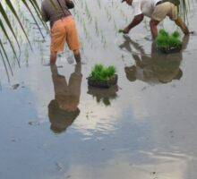 Planting Rice Seedlings under a Cloudy Balinese Sky Sticker