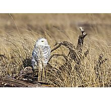 Hiding in the Grass -- Snowy Owl Photographic Print