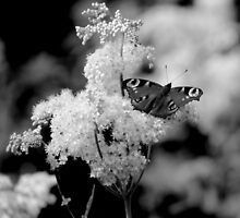 Butterflies by ncp-photography