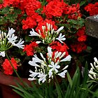 A show of red and white by missmoneypenny