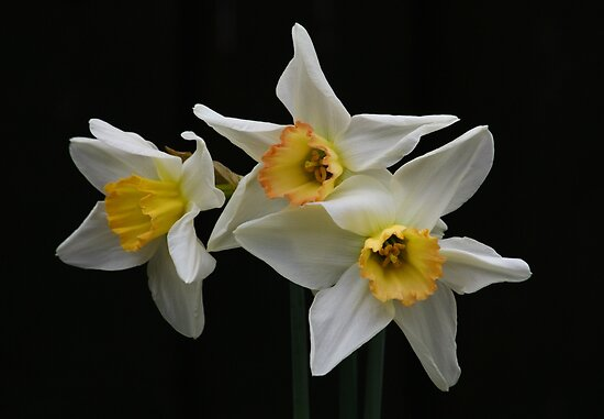 Narcissus (Paperwhite) by AnnDixon