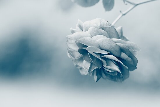 Romantic Rose  - JUSTART ©  by JUSTART