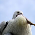 Not Just Another Pelican  by Evita