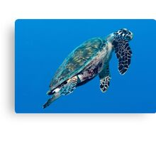 Baby Hawksbill  Sea Turtle Canvas Print