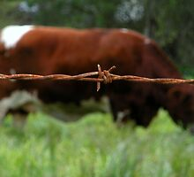 """RUSTY COW"" Best Viewed Large by waddleudo"