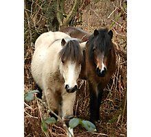 National Trust Ponies Photographic Print