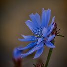 Wild Chicory by Colin Metcalf